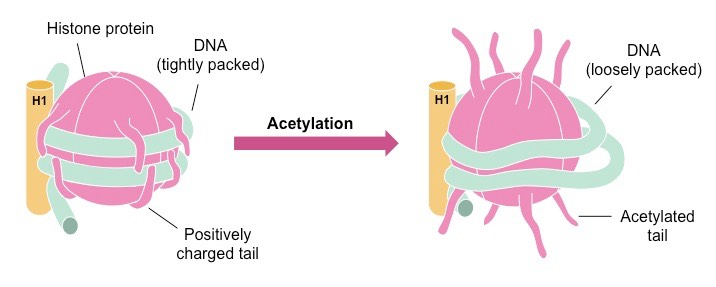 RESEARCH Open Access Tip60-mediated acetylation activates ...