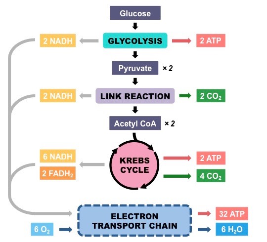 biochemistry - Why is oxygen needed for the electron