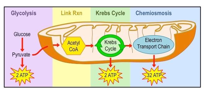Aerobic Respiration Bioninja