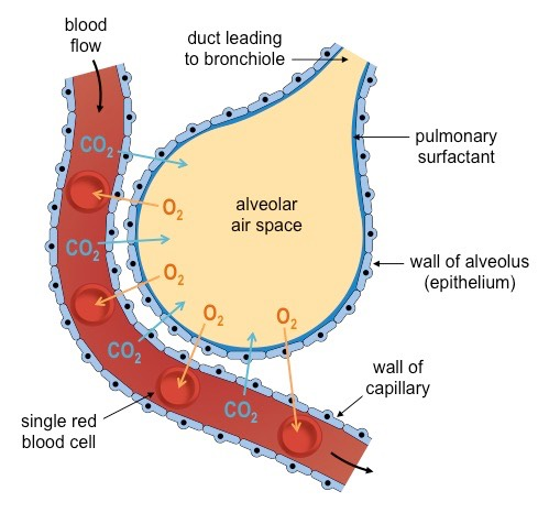 lung structure bioninja  lung cell diagram #11