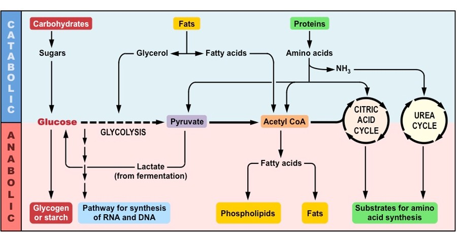anabolic pathways cellular respiration