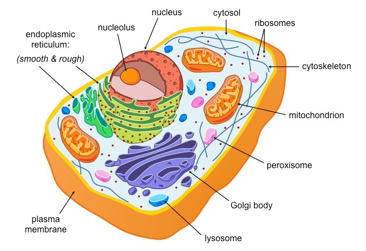 eukaryotic cells bioninja rh ib bioninja com au eukaryotic animal cell diagram labeled Eukaryotic Cell Diagram Unlabeled