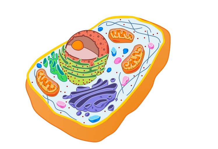 Plant Cell Diagram Plant Cell Diagram Not Labeled
