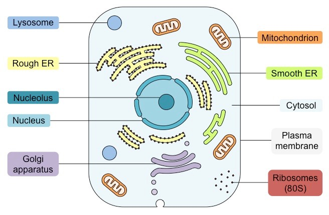 Where Is The Cytosol Located In An Animal Cell