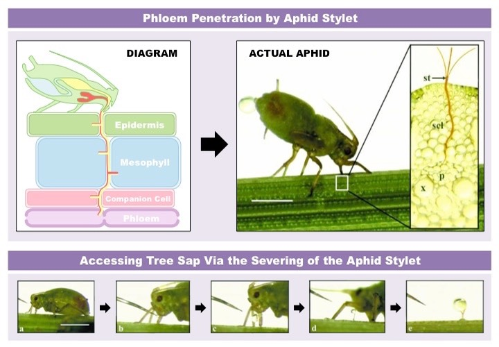 aphid stylet
