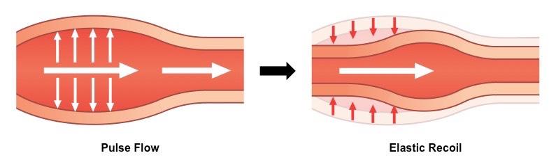 Arteries - BioNinja