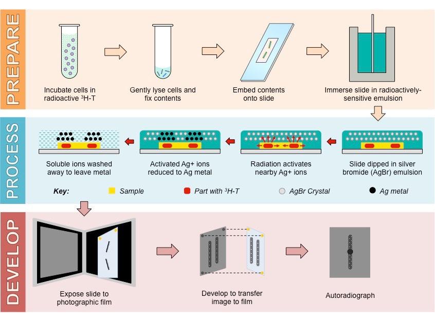 Chromosome Size | BioNinja