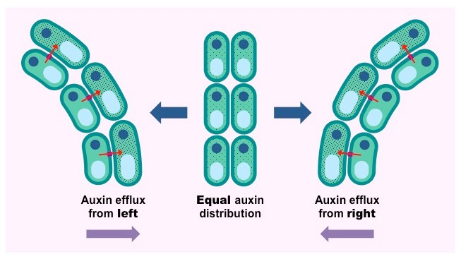 auxin efflux pumps