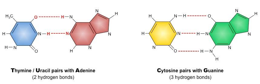 Nitrogenous Bases | BioNinja