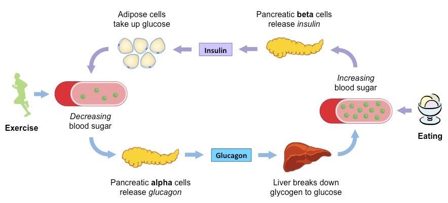 Insulin and Glucagon | BioNinja