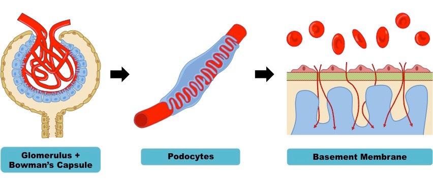 ultrafiltration | bioninja, Human Body