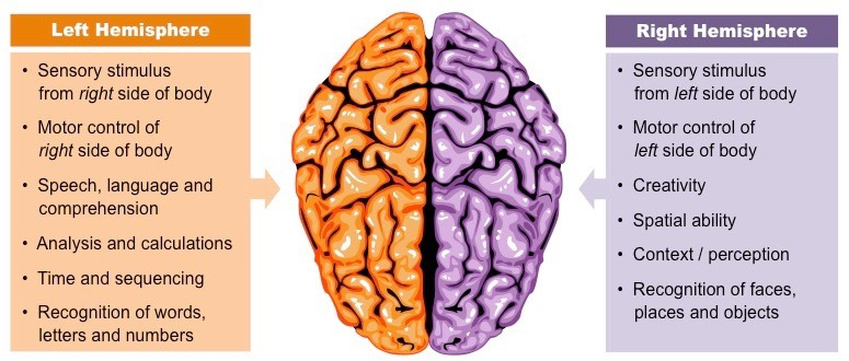 a look at the left and right side of the brain and its functions