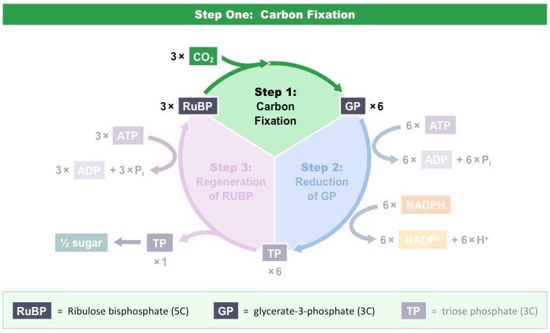 Light Independent Reactions Bioninja