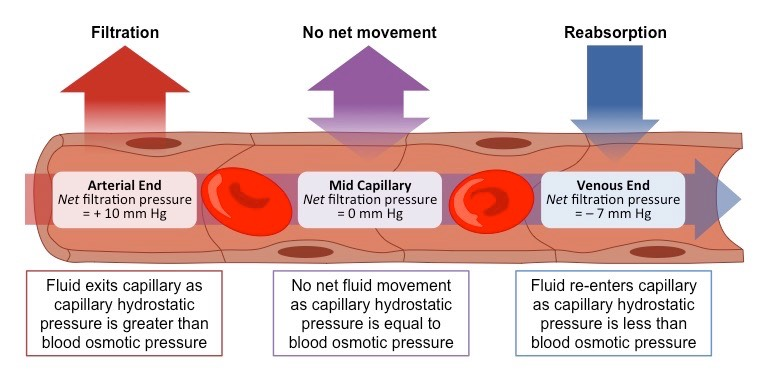 the formation of the tissue fluid and exchange of materials in the capillary network the blood disea Full text of archives of dermatology see other formats.