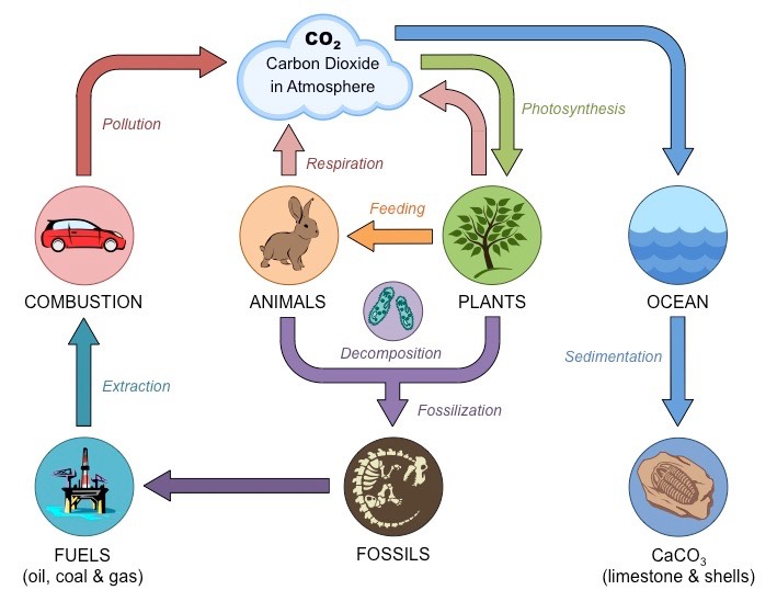 Carbon Cycle | BioNinja