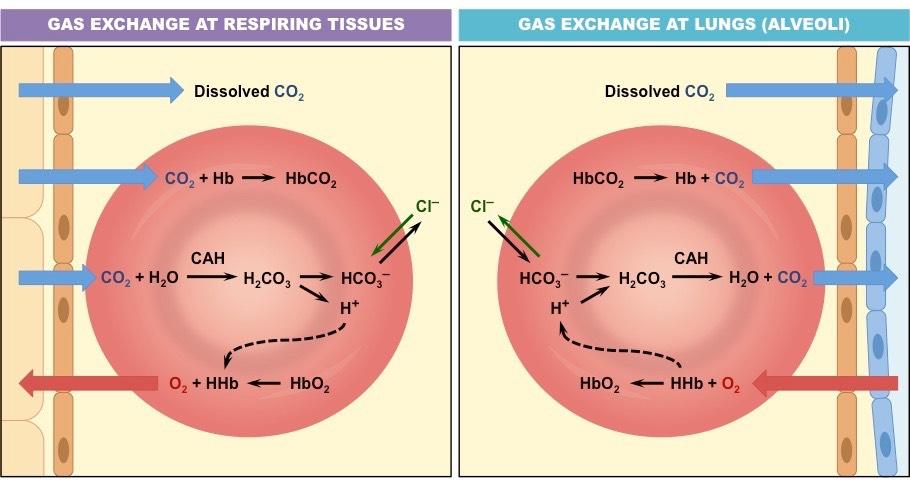 Carbonic >> Carbon Dioxide Transport | BioNinja