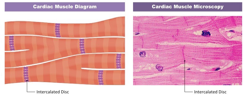 cardiac muscle bioninja heart system diagram cardiovascular cell diagram #6