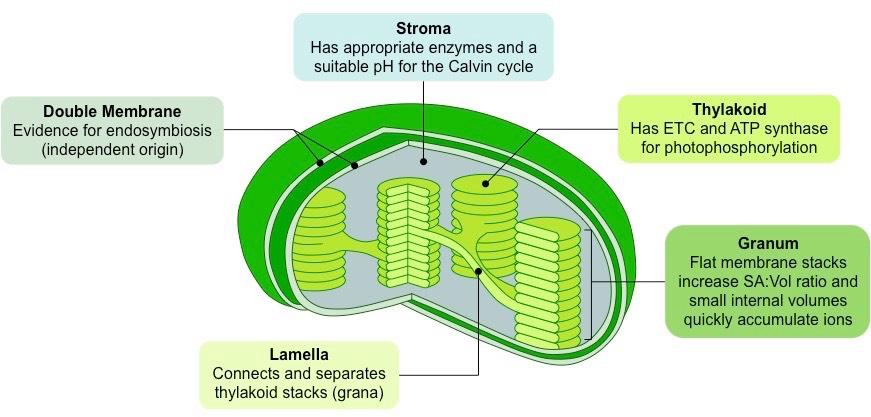 Image result for chloroplast diagram