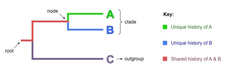 cladogram features