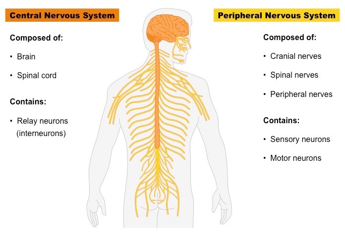 what is the peripheral nervous system made up of