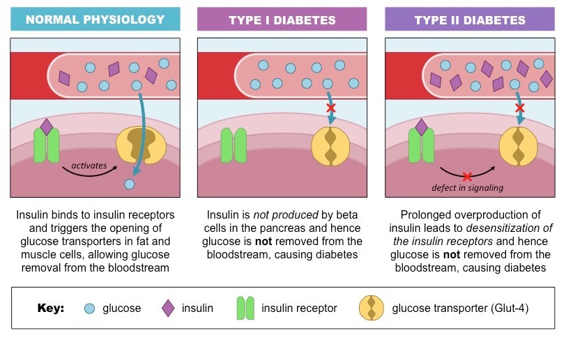 relationship between insulin and glucose concentration yeast