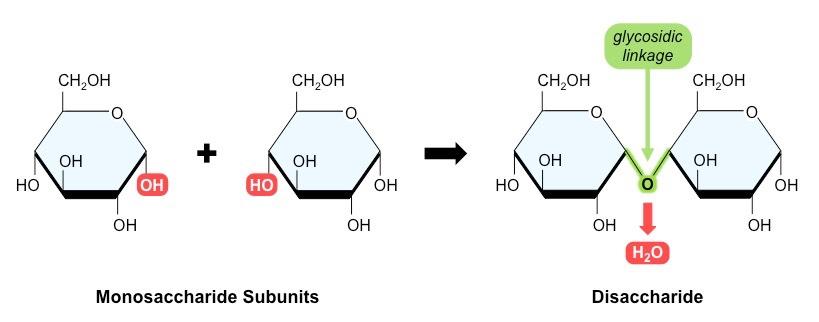 Carbohydrates monosaccharides, disaccharides, polysaccharides.