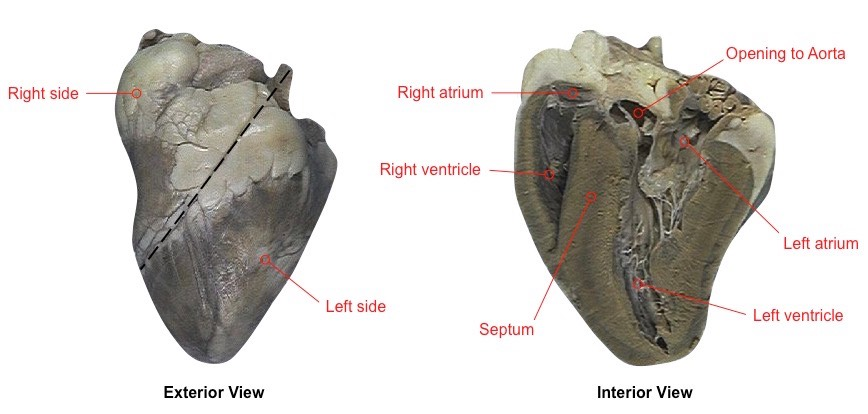 Exterior sheep heart labeled images for Exterior of heart diagram