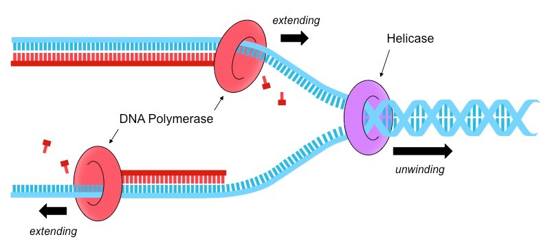 dna polymerase synthesises What is pcr (polymerase chain reaction) the heat is increased to 72⁰c to enable the new dna to be made by a special taq dna polymerase enzyme which adds dna bases.