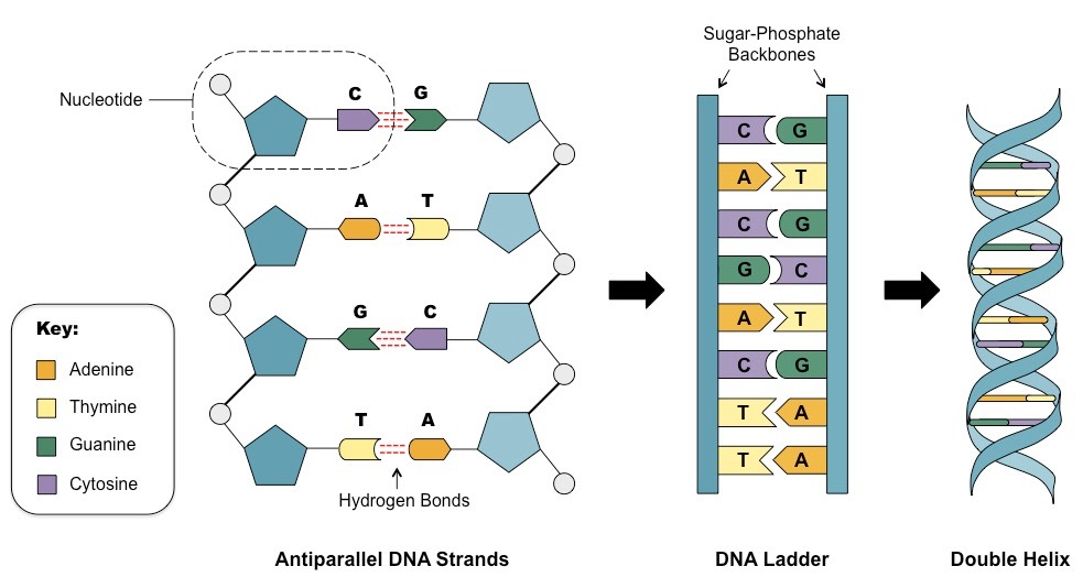 DNA Structure | BioNinja