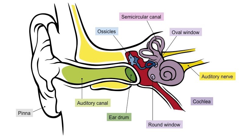 Sensory structures bioninja ear labelled ccuart Images