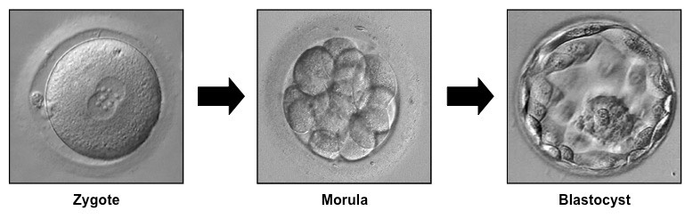Embryo Development | BioNinja