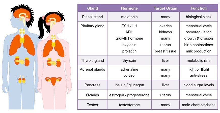 Endocrine Glands Bioninja