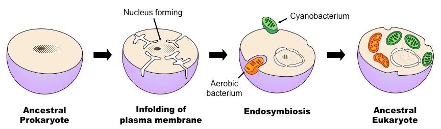 endosymbiotic theory pdf