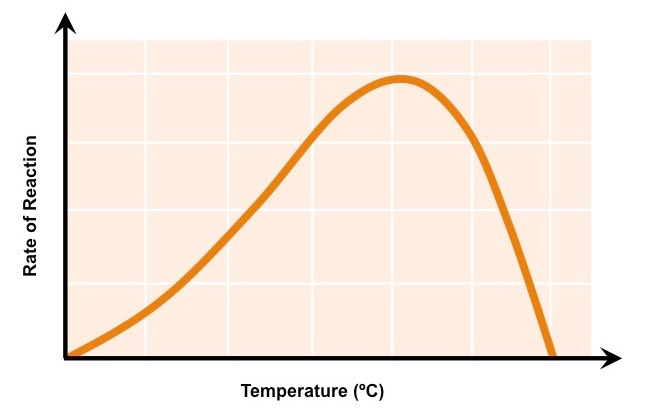 the effects of temperature on enzyme catalase The affects of temperature and concentration on of temperature and concentration on catalase rate of the enzyme graphs effects of temperature on.