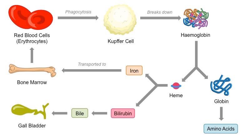 Erythrocyte Recycling Bioninja