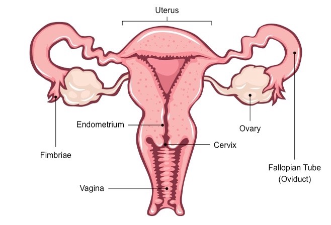 Female Reproductive System | BioNinjaBioNinja