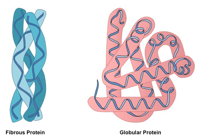 Fibrous Vs Globular Proteins Bioninja
