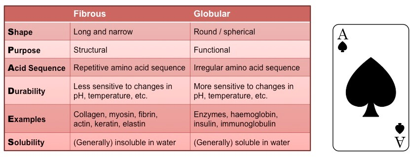 fibrous vs globular proteins | bioninja