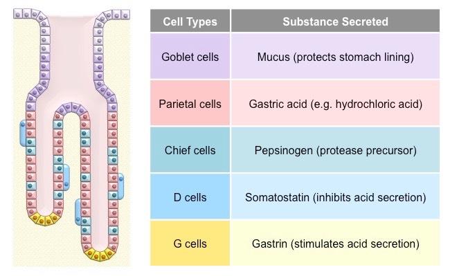 gastric pits | bioninja  bioninja