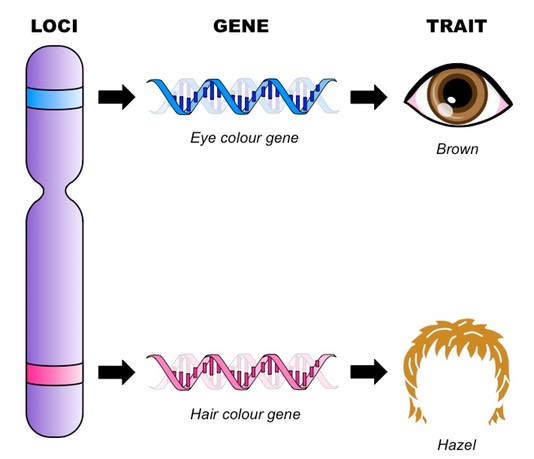 Genes and loci bioninja genes and gene loci malvernweather Choice Image