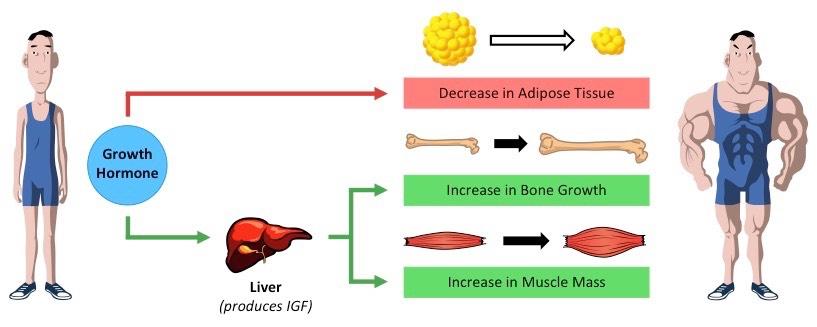 Growth Hormone | BioNinja