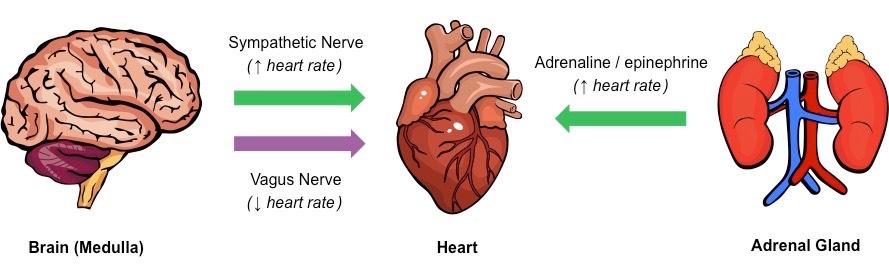 Heart Rate | BioNinja