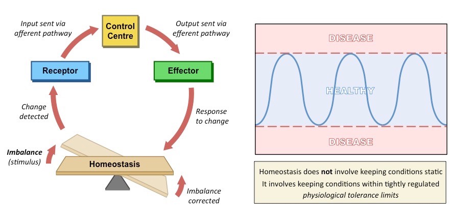 how is homeostasis maintained Homeostasis definition is - a relatively stable state of equilibrium or a tendency toward such a state between the different but interdependent elements or groups of elements of an organism, population, or group.