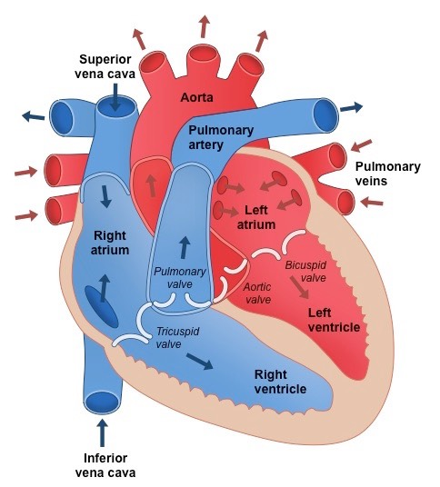 heart structure | bioninja, Muscles