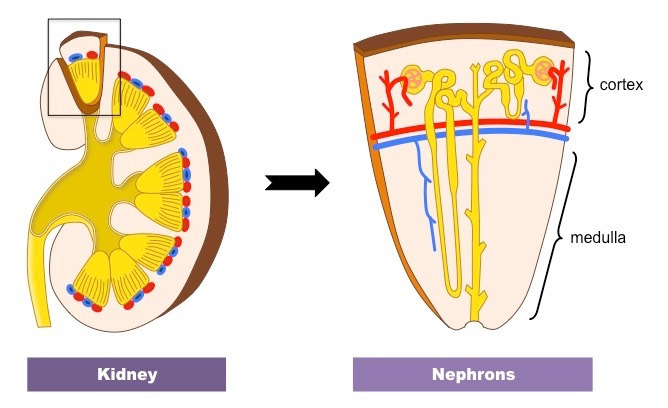 Kidneys   BioNinja