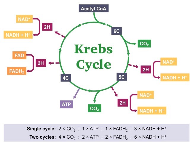 Krebs Cycle | BioNinja