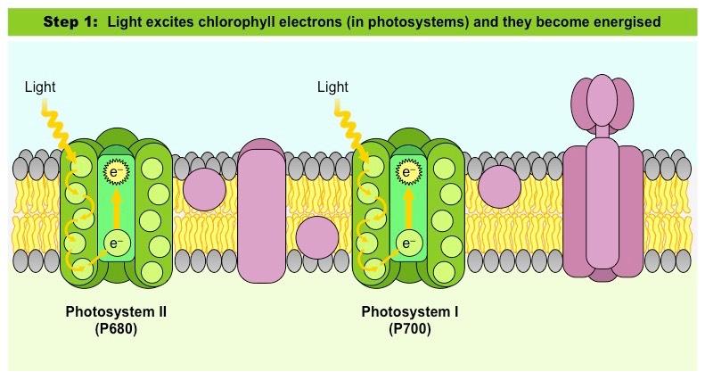 Light Dependent Reactions Bioninja