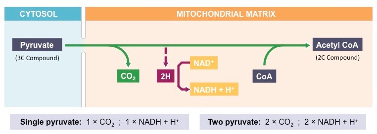 Link Reaction Med on Simple Mitochondria Diagram
