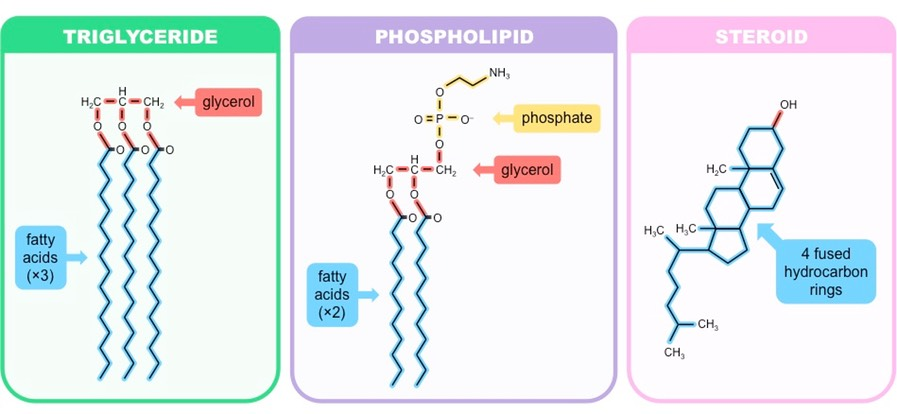 fatty acids triglycerides phospholipids and steroids