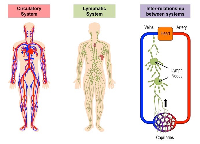 lymphatic system | bioninja, Human Body